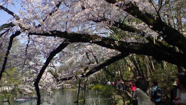 東京ワイド写真:花見行脚・吉祥寺井の頭公園~新宿御苑~上野公園