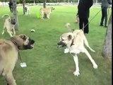 ( kangal dogs )kangal köpekler