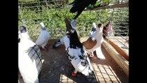 Kaftar Afghani Afghaanse duiven Afghan Pigeons Afghanische Tauben Show