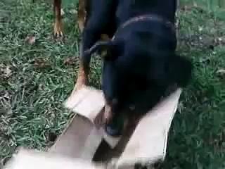 Rottweiler Attacks Box- Crazy