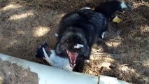 Luna the Red (silver) fox, gets a pigeon flavored treasure! лиса в ударе