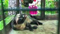 """Kopi luwak or civet coffee"" from civets on a farm are forced to eat the coffee beans (Bali)"