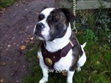 Old Tyme Aylestone Bulldogs-Gallery of pups and dogs produced by us