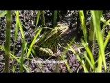 Les reptiles et les amphibiens du nord du Québec