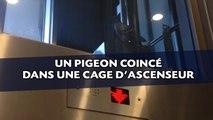 Un pigeon coincé dans une cage d'ascenseur