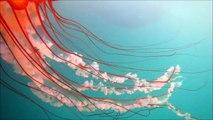 """Jellyfish aka sea jellies """"Cnidarians"""" swimming in the Salish Sea (Strait of Juan de Fuca)"""