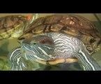Red-Eared Sliders in Tank with Fish (tortugas y pescado en tanque)
