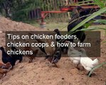 Optimizing chicken egg farming | Tips on feeding chickens for profitable chicken egg farming