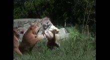 Tiger vs Tiger, Animals Tigers Fighting   Animal Videos Compilation | Tas Hals