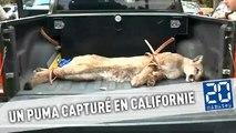 Un puma capturé dans les rues d'une ville californienne