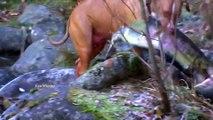 Un pitbull pêche des Saumons géants!