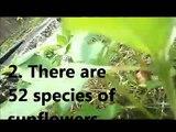 Sunflower log II: Six Facts About Sunflowers ( Sunshower- Dan Gibson, Solitudes)
