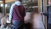 Hackney Horse foal Magics 1st farrier visit