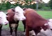 Ryan Farm, USA our pet Cows/Heifers