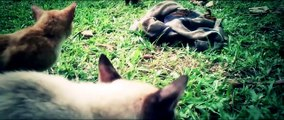 Asian Leopard Cat With Domestic Cat - video dailymotion