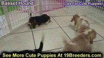 Basset Hound, Puppies, For, Sale, In, Phoenix, Arizona, AZ, Prescott Valley, Bullhead City, Prescott
