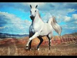 Dancing with Arabian Horses