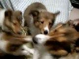 シェルティー 仔犬3匹父犬と闘う その3