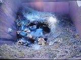 Blue Tits Feeding Their Chicks (23.05.2011)