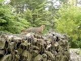 Fox Pup Chasing Squirrels Climbing Tree 8 8 09