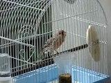 Canario Roller/ Roller canary