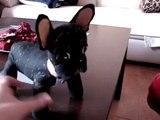 Mi Bulldog Francés INDIA y su doble de peluche