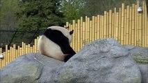 Toronto Zoo panda Da Mao on his public debut eating bamboo