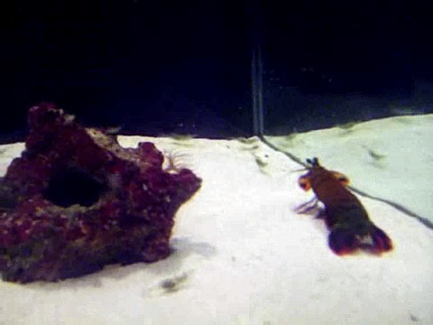 Peacock Mantis Shrimp eating ghost shrimp