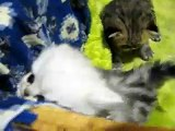 Chinchilla Persian & Exotic Baby Kittens. Cattery GELIOS