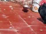 buchon gaditano 2012 -temara- said bahi 06 68 199 177