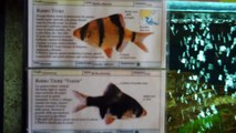 Barbus Tetrazona (Barbo di Sumatra o Barbo Tigre) & Barbus Tetrazona green (Barbo Tigre verde)