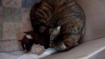 A cat adopts baby abandoned Pit Bull