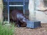 Angry Angry Hippo!!