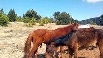 Denizli Çardak Akseki Yılkı Atları