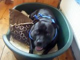 Staffordshire Bull Terrier thinks she is a horse..Funny Staffy SBT Video