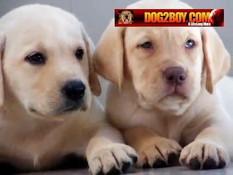 ลาบาดอร์รีทรีฟเวอร์-LABRADOR-DOG2BOY