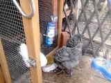 My birds, Hens, baby chicks quails and bunnies