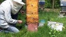 vidéo essaim d'abeilles