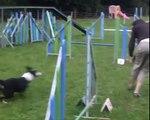 Démy border collie, entre 6 et 8 mois, agility, troupeau, obérythmée, tricks, fresstyle canin