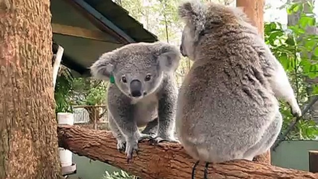 Koala joeys kissing and sniffing