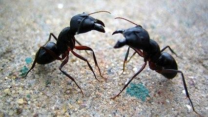 Karıncaları Zombileştiren Mantarla