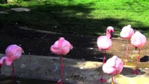 Very Beautiful Pink Birds - Lesser Flamingos, one of the most beautiful birds in the world