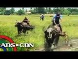 Carabao racing in Nueva Ecija