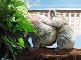 Mother koala and female joey (baby) at koala hospital