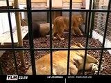3 lions sauvés d'un cirque à Lyon