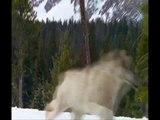 Wolves (Adiemus)