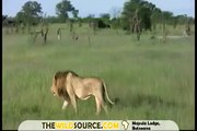Elephant Charges Lion at Mapula Lodge | Okavango Delta Safaris