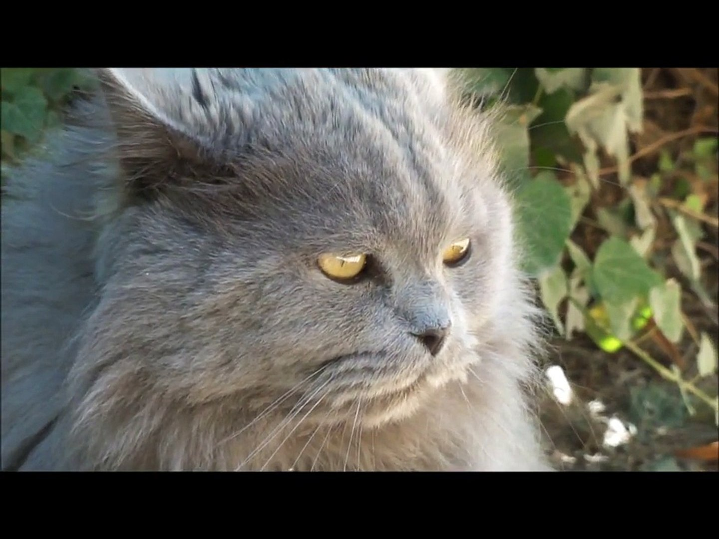 CUTE FLUFFY CAT PURRING WHILE BEING STROKED, CATS VIDEOS, CUTE ANIMAL VIDEOS, CUTE CAT