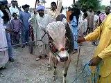 sraki local mela ,,funny and full entrtainment-[Masha Allah mobile Taunsa 03336466861