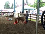 Alpaca Obstacle Course- Public Relations Obstacles